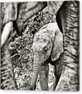 African Elephant In The Masai Mara Acrylic Print