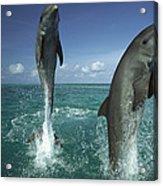 Bottlenose Dolphin Tursiops Truncatus Acrylic Print
