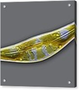 Diatom, Light Micrograph Acrylic Print by Frank Fox