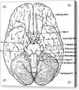 Illustration Of Cranial Nerves Acrylic Print