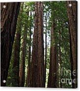Redwoods Sequoia Sempervirens Acrylic Print
