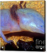 Texas Blind Salamander Acrylic Print