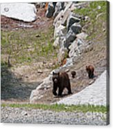 Black Bear Family Acrylic Print