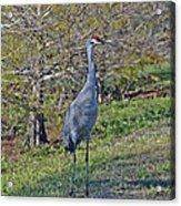 9- Sandhill Crane Acrylic Print