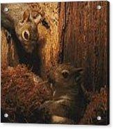 A A Baby Eastern Gray Squirrel Sciurus Acrylic Print
