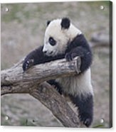 A Baby Panda Plays On A Branch Acrylic Print