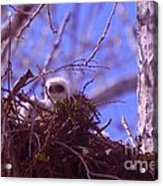 A Baby Red Tail Gazing From Its Nest Acrylic Print