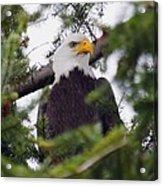 A Bald Eagle Acrylic Print