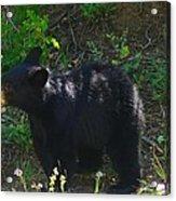 A Bear Cub Acrylic Print