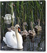A Bevy  Of Swans. Acrylic Print