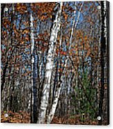 A Birch Radiating Its White Beauty In The Forest Acrylic Print