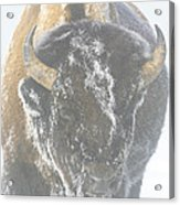 A Bison Covered By Ice And Fog Acrylic Print