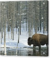 A Bison Stands In A Cold  Stream Acrylic Print
