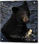 A Black Bear Feeds On Salmon In Anan Acrylic Print by Melissa Farlow