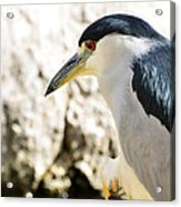 A Black-crowned Night Heron  Acrylic Print