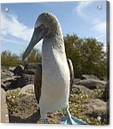 A Blue-footed Booby Of The Galapagos Acrylic Print