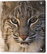 A Bobcat At The Rolling Hills Zoo Acrylic Print by Joel Sartore