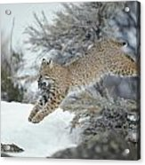 A Bobcat Leaps With A Horned Lark Acrylic Print