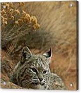 A Bobcat Acrylic Print