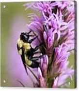 A Bombus Bumblebee On A Acrylic Print