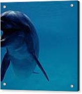 A Bottlenose Dolphin Swims In The Blue Acrylic Print