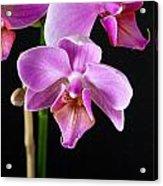 A Brilliant Orchid Acrylic Print