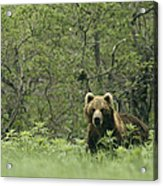 A Brown Bear In Tall Grasses Acrylic Print