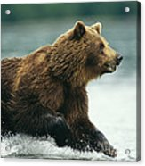 A Brown Bear Rushing Through Water Acrylic Print