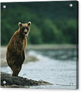 A Brown Bear Standing At Waters Edge Acrylic Print