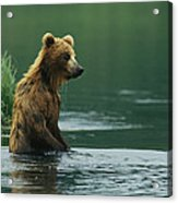 A Brown Bear Standing In Water Hunting Acrylic Print