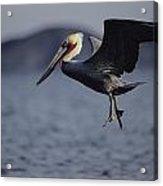 A Brown Pelican Prepares To Land Acrylic Print