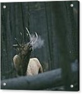 A Bull Elk Bugles, Emitting A Frosty Acrylic Print by Michael S. Quinton