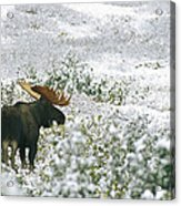 A Bull Moose On A Snow Covered Hillside Acrylic Print by Rich Reid