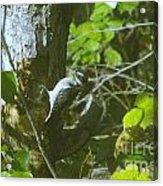 A Busy Woodpecker  Acrylic Print