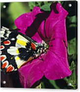 A Butterfly Lands On A Pink Flower Acrylic Print