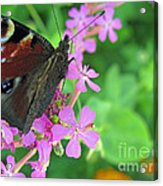 A Butterfly On The Pink Flower 2 Acrylic Print
