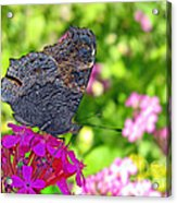 A Butterfly On The Pink Flower Acrylic Print