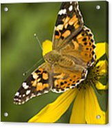 A Butterfly Sits Atop A Yellow Acrylic Print by Ralph Lee Hopkins