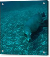 A California Sea Lion Swims Close Acrylic Print by Heather Perry