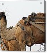 A Camel Foraging For Food In A Desert Environment Acrylic Print