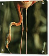 A Caribbean Flamingo Stands On Its Nest Acrylic Print