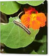 A Caterpillar Eating The Leaves Of A Plant With A Beautiful Orange Flower Acrylic Print