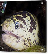 A Chain Moray Eel Peers Out Of Its Hole Acrylic Print