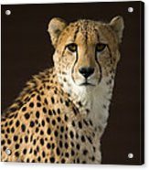 A Cheetah Acinonyx Jubatus Urinates Acrylic Print