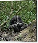 A Chimp At A Termite Mound Fishing Acrylic Print by Ian Nichols