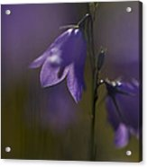 A Close-up Image Of Mountain Hairbells Acrylic Print