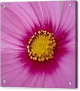 A Close-up Of A Pink Wildflower Acrylic Print