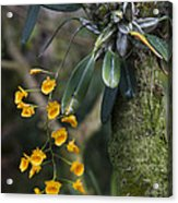 A Close View Of A Beautiful Dendrobium Acrylic Print by Taylor S. Kennedy