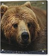 A Close View Of A Captive Kodiak Bear Acrylic Print