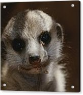 A Close View Of A Meerkat Suricata Acrylic Print